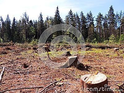 Felling da floresta spruce