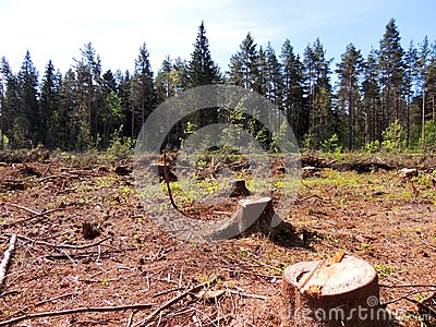 Felling of spruce forest