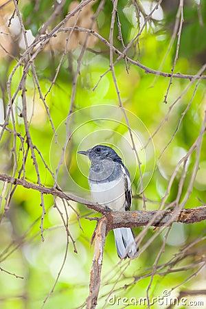 Femal Oriental Magpie Robin (Copsychus saularis) bird