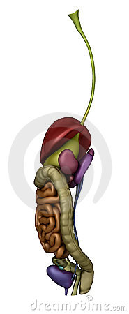 Female abdominal organs - right lateral view