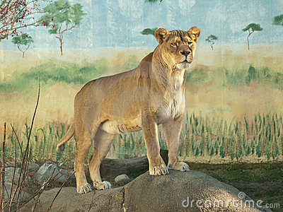 Female african lion portrait
