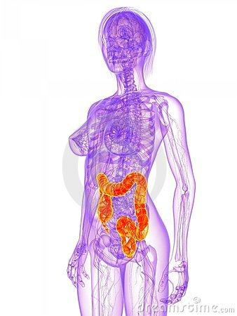 Female anatomy - colon