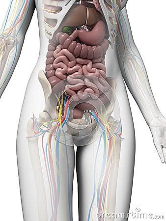 Female Anatomy Stock Photography Image 30724402