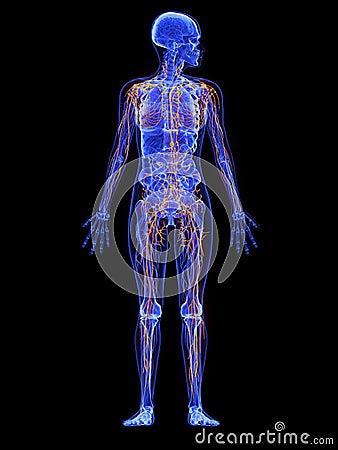 Female anatomy - lymphatic system