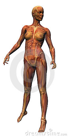 Female Anatomy - Musculature w