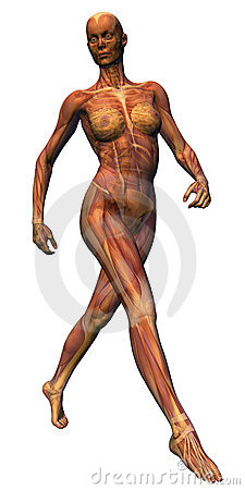 Female Anatomy - Stride