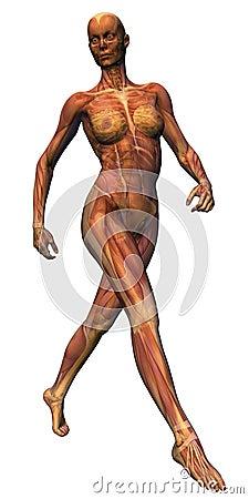 Female Anatomy - Stride