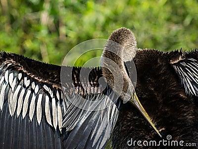 Female Anhinga Bird Preening