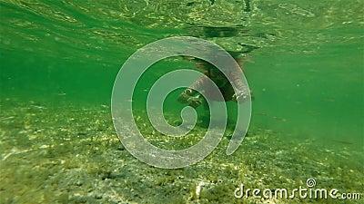 Female Apnea Underwater In Shark Bay Stock Video - Video of swim