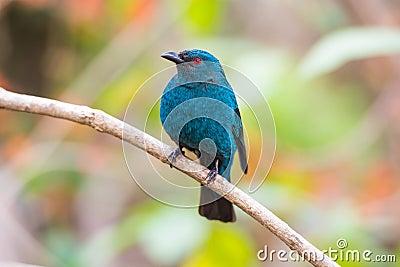Asian fairy bluebird scientific name