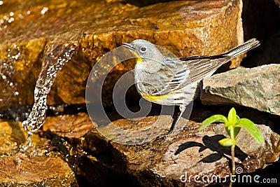 Female Audubon s Warbler