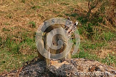 Female Baboon