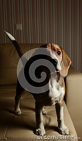 Female Beagle puppy, high contrast
