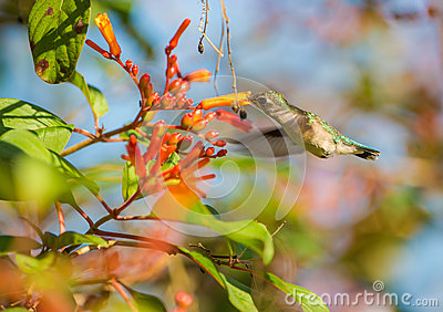 Female Bee Hummingbird in flight