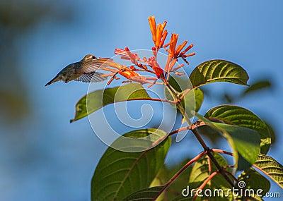 Female Bee Hummingbird in flight