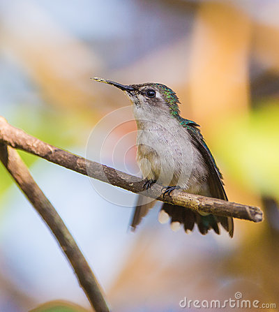 Free Female Bee Hummingbird On A Branch Stock Image - 40050621