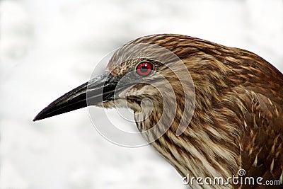 Female Black Crowned Night Heron