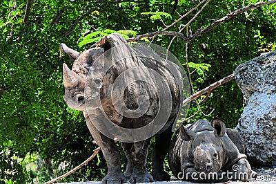 Female black rhinocero & baby