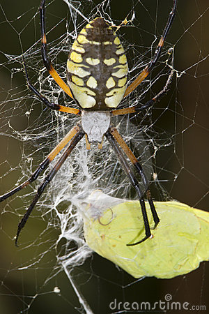 Female black-and-yellow argiope (Argiope aurantia)