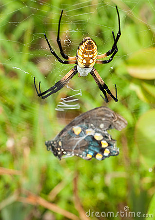 Female Black-and-yellow Argiope spider