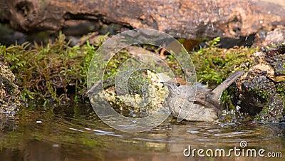 Female Blackcap bathing