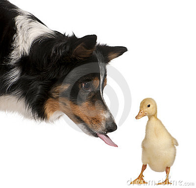 Free Female Border Collie, Playing Royalty Free Stock Photography - 20253237