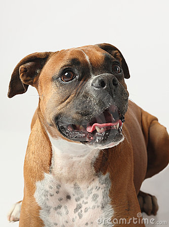 Female boxer canine