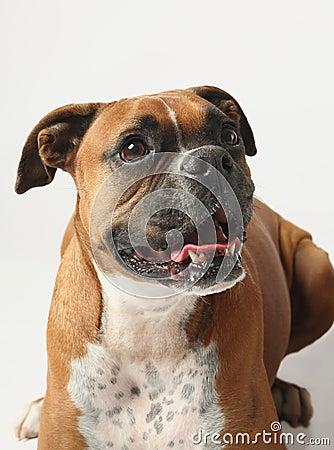 Female boxer canine