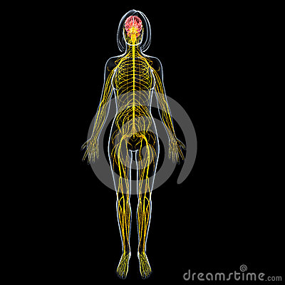 FeMale brain anatomy with full body nervous system