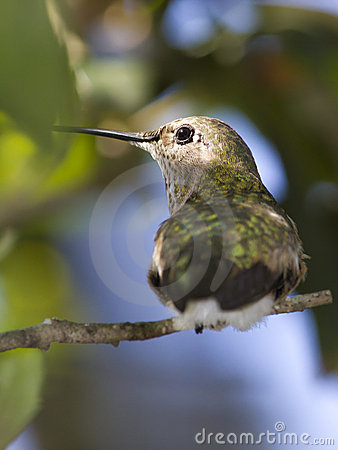 Female Broad tailed hummingbird