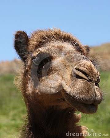 Female Camel