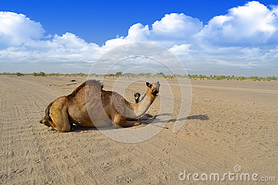 Female Camel and her son