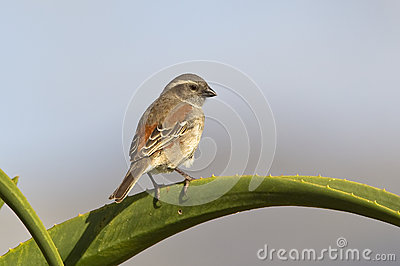 Female Cape Sparrow