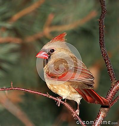 Free Female Cardinal Royalty Free Stock Image - 4411396