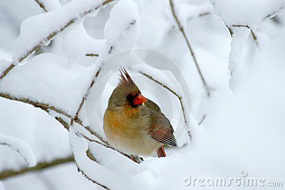 Female Cardinal In Heavy Snow