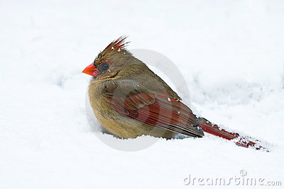 Female cardinal sits in a snow drift