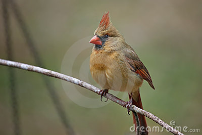 Female Cardinal on twig