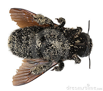 Female Carpenter bee covered with pollen grains