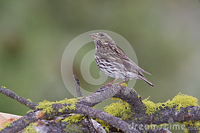 Female Cassins Finch
