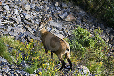Female chamois