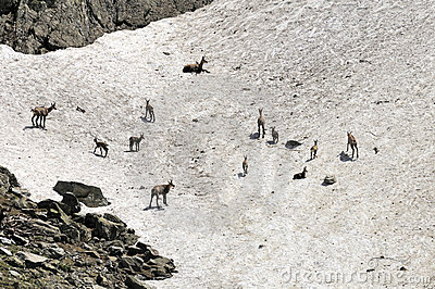 Female chamois and kids in Spring. France