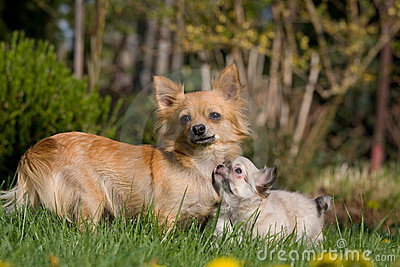 Female Chihuahua with puppy