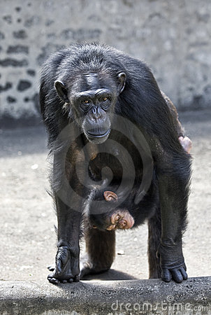 Female chimpanzee with baby