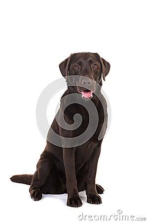 Free Female Chocolate Brown Labrador Retriever Dog Sitting With Its M Stock Image - 86458971