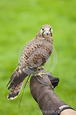Female Common Kestrel on Falconry Glove