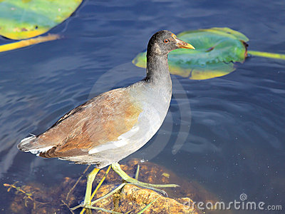 Female Common Moorhen