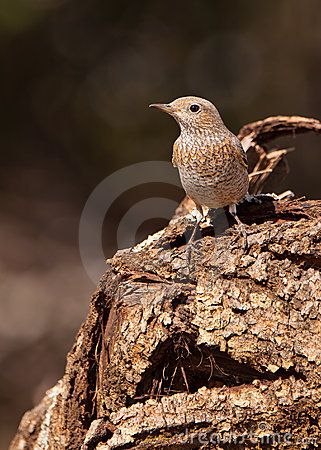 A female Common Rock Thrush