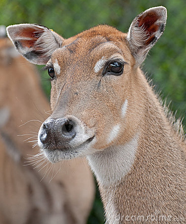 Female Deer Royalty Free Stock Photo - Image: 20339895