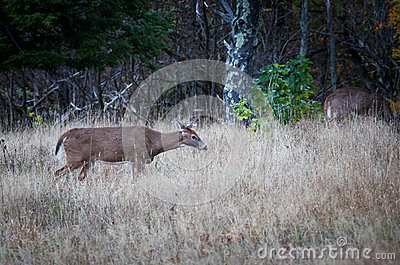 Female Deer in the bush