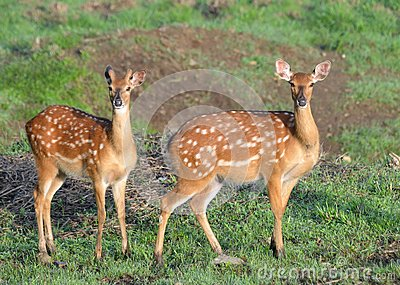 A female deer and a male deer